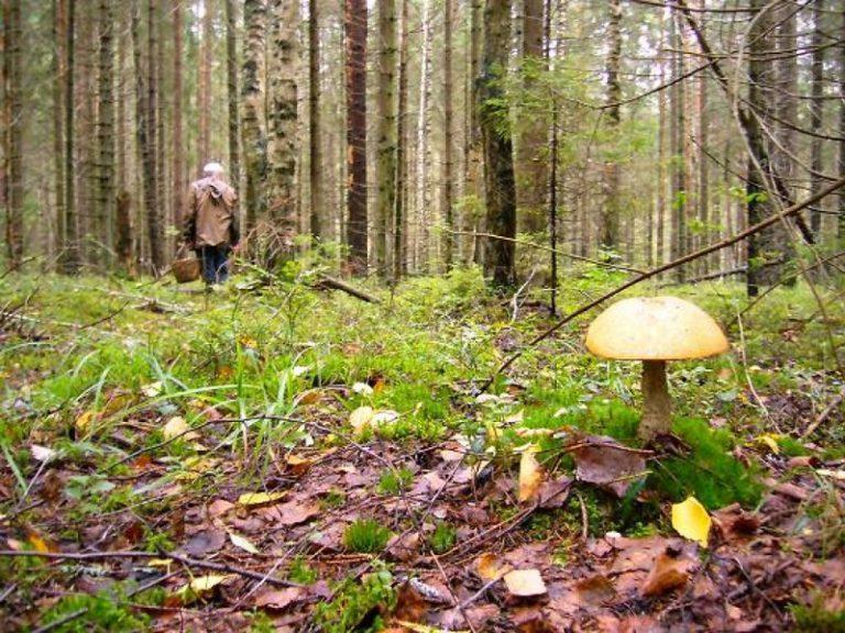 Найден пенсионер, три дня блуждавший по лесам около Шлиссельбурга